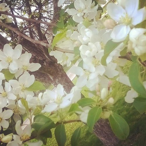 The tree is in bloom! 🌷🌻🍃 Tinytree Whiteblossoms Namethattree Spring