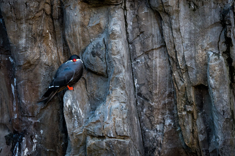 Inca Tern roosting on a cliff Bird Photography Inca Inca Tern Larosterna Inca Animal Wildlife Animals In The Wild Bird Cliff Day Nature One Animal Outdoors Perching Rock - Object Rock Face Roost Roosting Seabird Tern