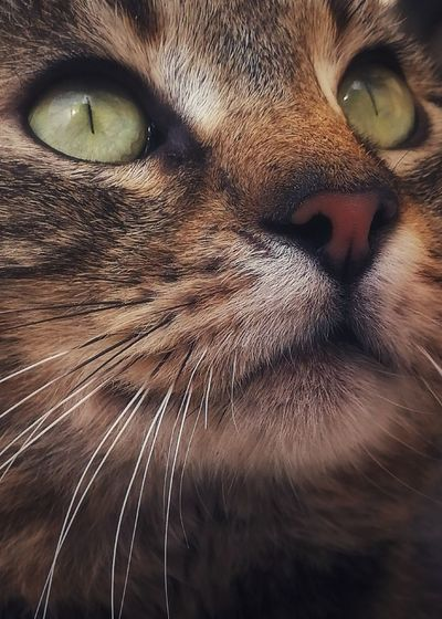 In the eyes of the glow. Cat Getty Images Animal Portrait Sale Eyes Kitten Cats Pets Portrait Feline Domestic Cat Looking At Camera Leopard Whisker Yellow Eyes Animal Eye Close-up