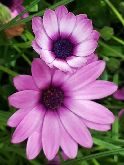 Flower Head Flower Pink Color Osteospermum Petunia Petal Purple Close-up Blooming Plant