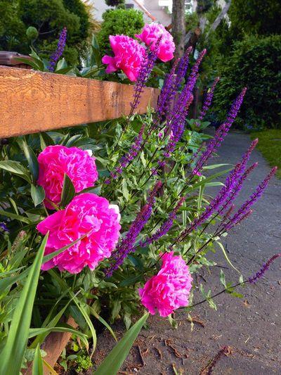 Magdeburg Gartenweg Zäune🌾 Garten Pflanze Natur Garten Gartenglück Gartenfreuden Blumenpracht🌺🍃 Flowers Pink Flower Pink Flowers Violette Violet Flowers