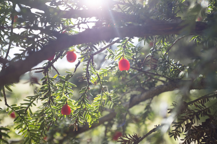 Yew berries with sunlight Autumn Beauty In Nature Branch Close-up Lens Flare Nature Plant Poisonous Red Sunlight Tree Yew Yew Berry Yew Tree