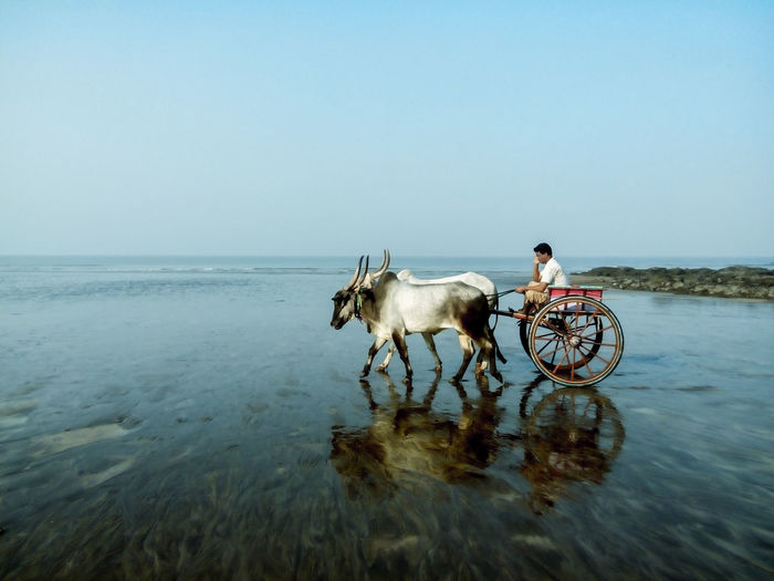 Side View Of Cattle Cart On Beach