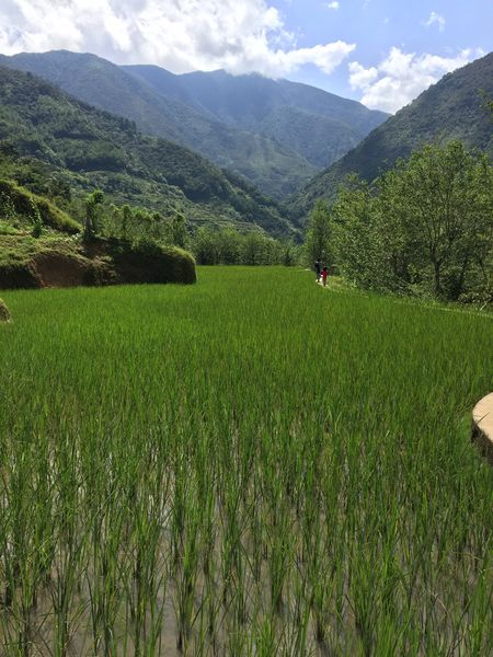 Rice terrasse Philippines Terrasse Rice Green Color Growth Agriculture Nature Field Beauty In Nature Grass