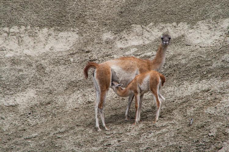 Female guanaco feeding to infant on ground