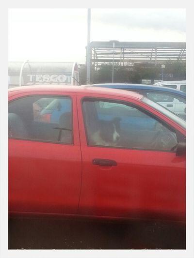Wee Dog Drives Car