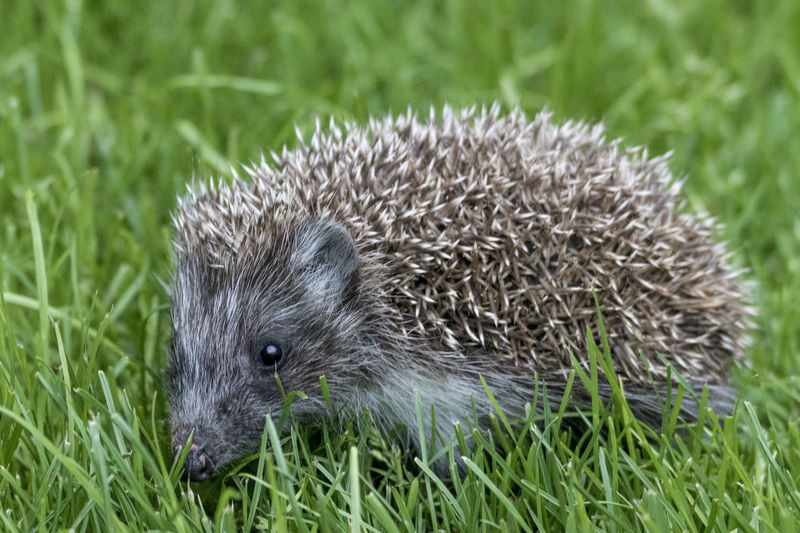 Animal Themes Animal Wildlife Animals In The Wild Baby Hedgehog Close-up Day Field Grass Hedgehog Mammal Nature No People One Animal Outdoors