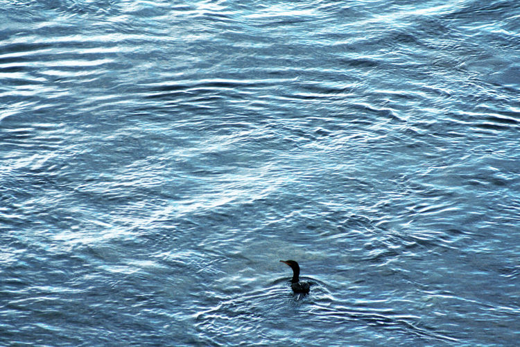 Pato sobre el mar. Animal Themes Animal Wildlife Animals In The Wild Beauty In Nature Bird Blue Blue Sea Day Duck High Angle View Nature No People One Animal Outdoors Sea Sea Life Swimming Water Waterfront Wave