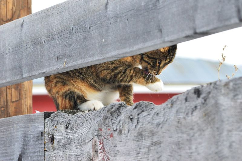 Between fence planks cleaning herself