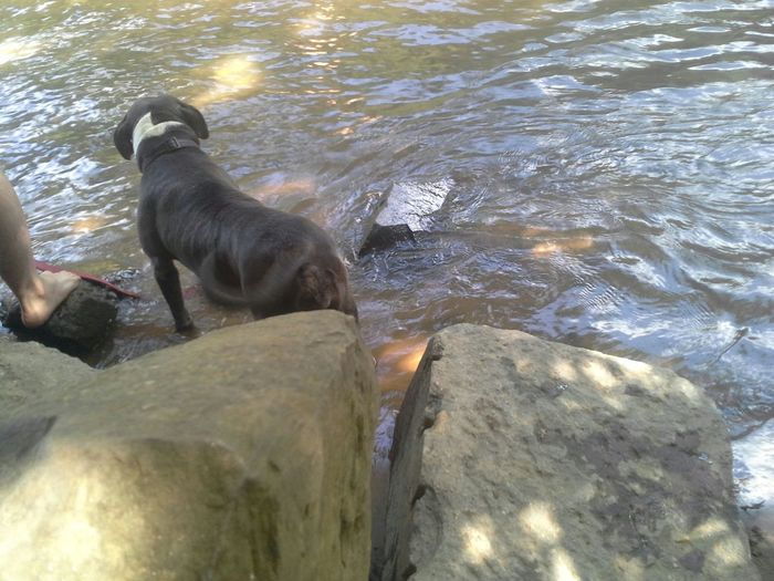 Tupponce Photography David Tupponce Altavista Virginia USA English Park Riverwater Dogs Pets And Animals Pitbulls Rocks Summer Dogs