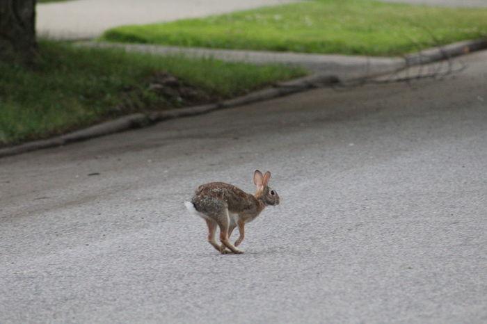 EyeEm Selects Animal Wildlife Outdoors Animals In The Wild Rabbit 🐇 Rabbit ❤️ Rabbit Ears Bunny Hop