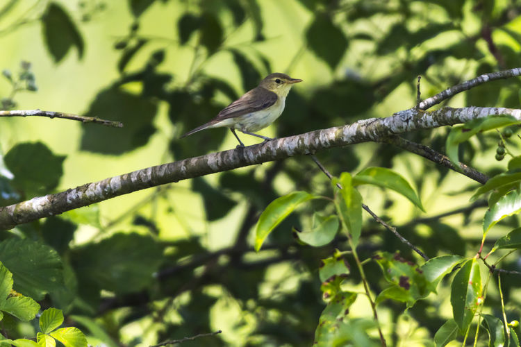 A melodious warbler on a branch Branches Feathers Hippolais Polyglotta, Melodious Warbler Singing Songbird  Animal Themes Animal Wildlife Animals In The Wild Bird Birds Branch Warbler Branchlet Day Landscape Nature No People One Animal Outdoors Outdoors Photograpghy  Perching Plumage Singing Birds Warblers Wildlife