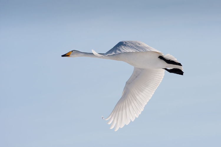 Flying whooper swan on blue sky Animal Behavior Animal Themes Animal Wing Animals In The Wild Beak Beauty In Nature Bird Blue Clear Sky Flight Flying Mid-air Nature No People One Animal Outdoors Spread Wings Swan Trumpeter Swan Trumpeter Swans White Whooper Whooper Swan Wildlife Zoology