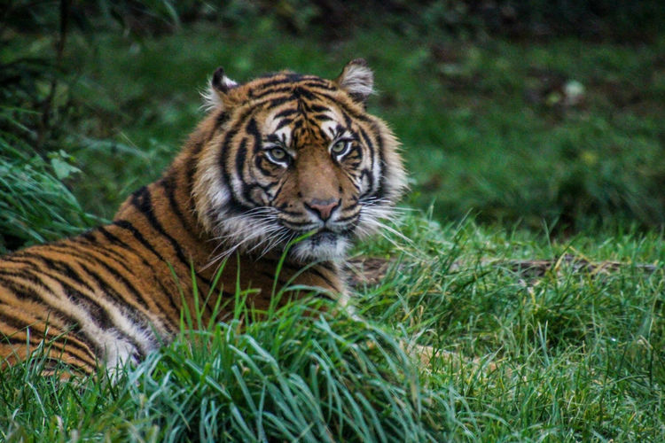 Feline Cat Animal Themes Animal Big Cat Tiger Animal Wildlife Mammal Animals In The Wild One Animal No People Animals Zoo Zoology Zoo Animals  Zoophotography ZOO-PHOTO Tigers Big Cats Big Cat Tiger Photo Endangered Species Beauty In Nature Animal Markings