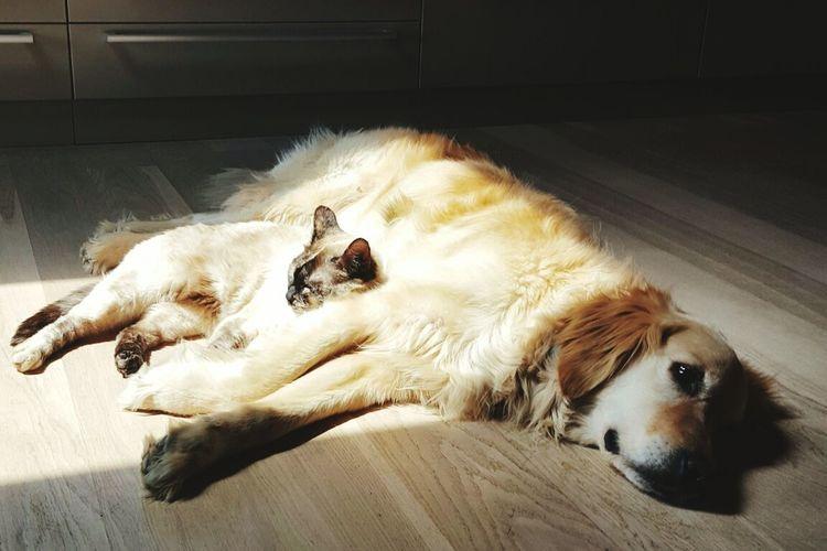 My little and happy world! FamilyFriendship Goldenretriever Siamese Cat Zelenezen