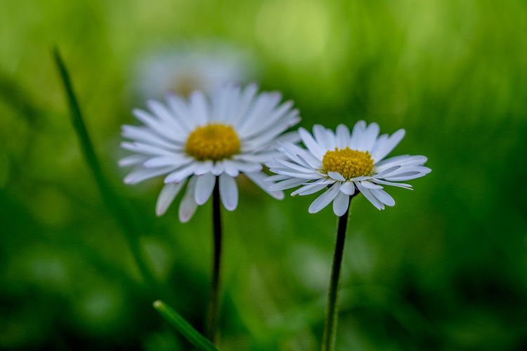 Flowering Plant Flower Freshness Fragility Vulnerability  Plant Beauty In Nature Petal Growth Inflorescence Flower Head Close-up White Color Daisy Pollen Nature Day No People Green Color Outdoors