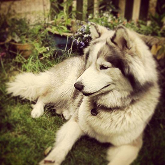 My baby Sila Alaskan Malamute Dogs
