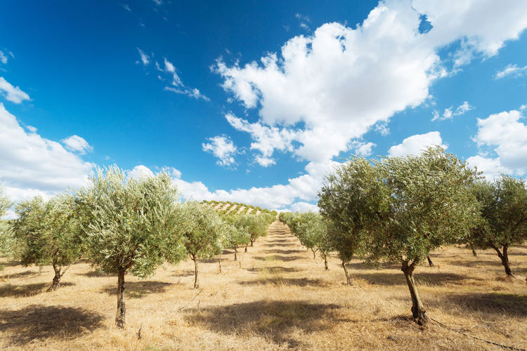 Olive Tree Agriculture Beauty In Nature Cloud - Sky Day Field Growth Landscape Nature No People Outdoors Scenics Sky Sunlight Tranquil Scene Tranquility Tree