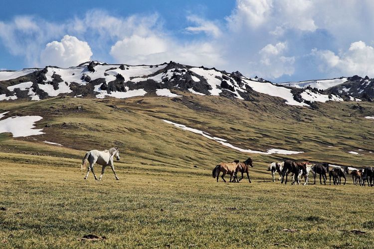 Horses Walking On Grassy Field By Snowcapped Mountain