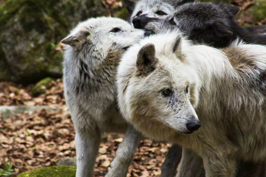 Wolf pack France Orlu Wolf Sanctuary Wolf Pack Animals In The Wild Close-up Day Nature No People Outdoors Wolf Wolves In Forest