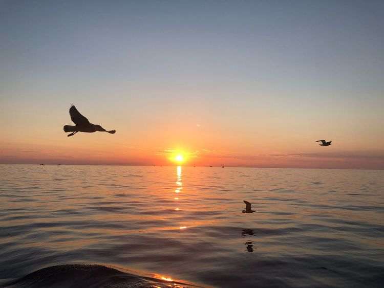 Sunset Sky Water Bird Mid-air Orange Color Flying Sun Beauty In Nature Sea Animal Nature Animals In The Wild Scenics - Nature Silhouette Animal Wildlife Group Of Animals Animal Themes Vertebrate Horizon Over Water