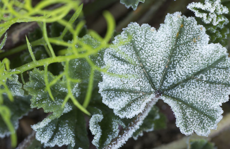 Macro of a common mallow with frost. Scientific name, (Malva sylvestris.). Shot taken in Monforte del Cid, Alicante, Spain. Leaf Plant Growth Plant Part Green Color Close-up Beauty In Nature Selective Focus Nature No People Day Cold Temperature Winter Freshness Frost Frozen Snow Ice Focus On Foreground Outdoors Leaves Malva Malva Sylvestris Common Mallow; Low Temperature