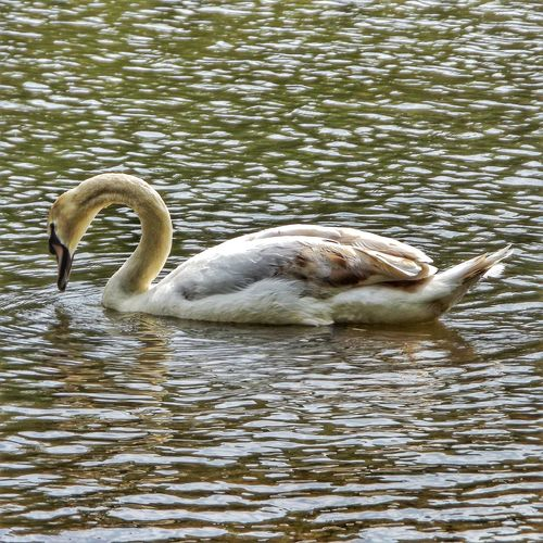 A majestic trumpet Swan at Trentham Estate Creative Light And Shadow Color Photography Close Up Nature Close Up Photography Fujifilm Malephotographerofthemonth Eye For Photography Eye 4 Photography Wildlife Photography Swans On The Lake Eyeem Birdphotography Birds_collection Birds Of EyeEm  Beauty Of Nature Beauty In Nature Trentham Estate An Eye For Detail Majestic Nature Wildlife & Nature Nature The Essence Of Summer- 2016 EyeEm Awards Nature And Wildlife By Tony Bayliss