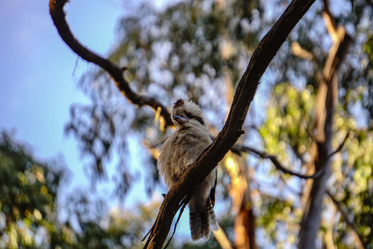 A king Fisher King Fisher Australia Australia & Travel Bird Tree Perching Branch Bird Of Prey Koala Sky