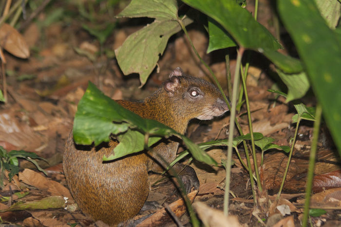 Agouti in rainforest of Costa Rica - Dasyprocta punctata in La Fortuna, Alajuela province, Costa Rica Agouti Animals In The Wild Costa Rica Dasyprocta Punctata Aguti Animal Portrait Animal Themes Animal Wildlife Animals In The Wild Brown Camouflage Close-up Cute Full Length High Angle View Mammal Nature No People Nocturnal One Animal Portrait Rainforest Rodent Tropical Climate Wildlife