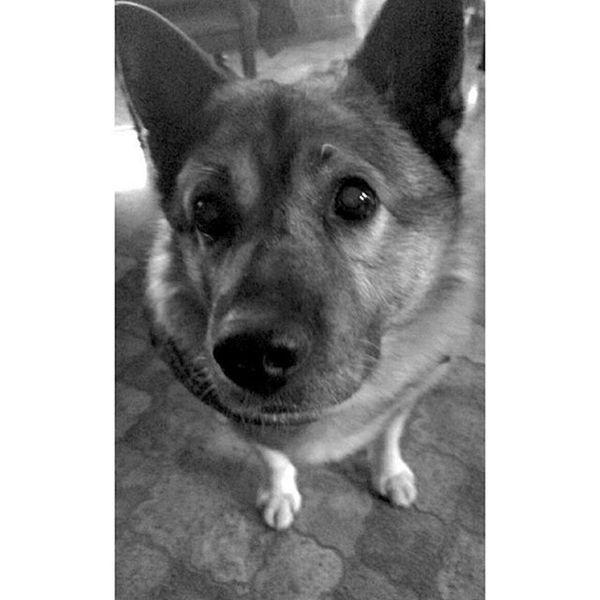 Fant 💕 Pretty Cute Cutie Baby Dog Instadog Dogsofinstagram Neg Elkhound Norwegianelkhound Gråhund Elghund Gråelghund Nkk Please Begging Puppyeyes Valpeøyne Verdensfineste K9 Canine