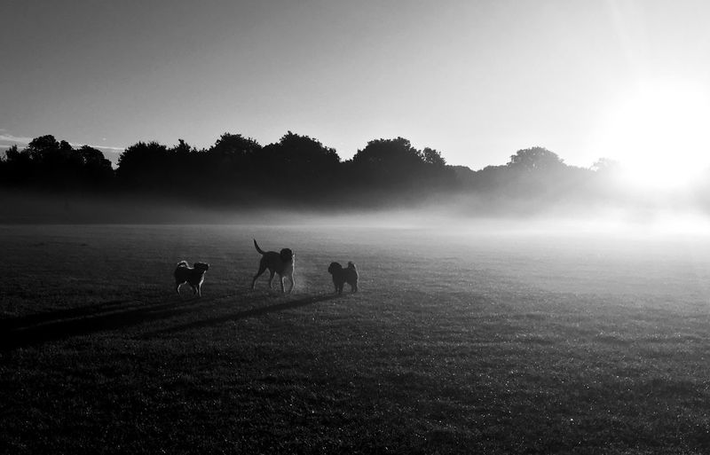 Dogs standing on field against sky during foggy weather