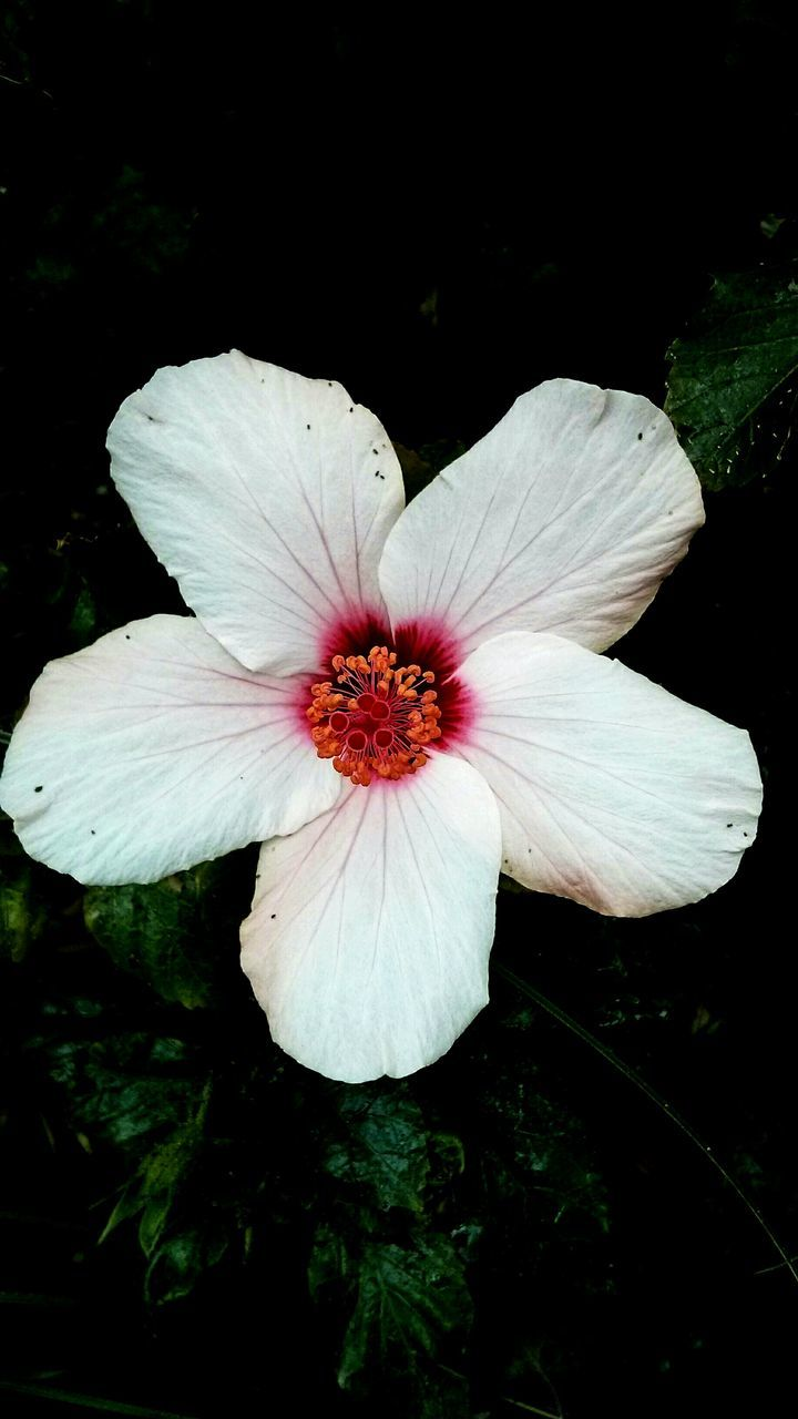 flower, petal, flower head, beauty in nature, nature, fragility, growth, plant, freshness, no people, blooming, close-up, hibiscus, outdoors, day