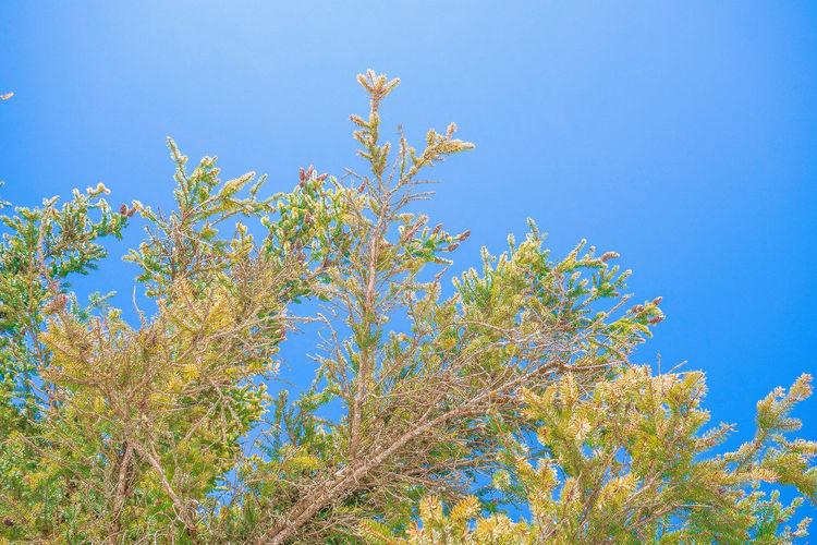 Plant Sky Blue