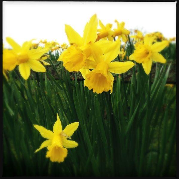 Hipstamatic Daffodils