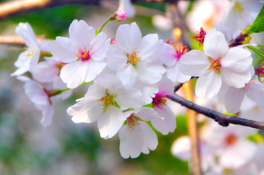 Spring Flowers Springtime Beauty In Nature Cherry Blossom Flower Collection Flowers,Plants & Garden Flowers, Nature And Beauty Flower Photography Spring Time 🌻