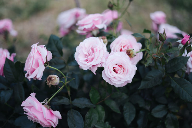 Blooming Flower Flower Head Fragility Growth Nature Petal Pink Color Pink Rose Plant Rose - Flower Roses Rosé