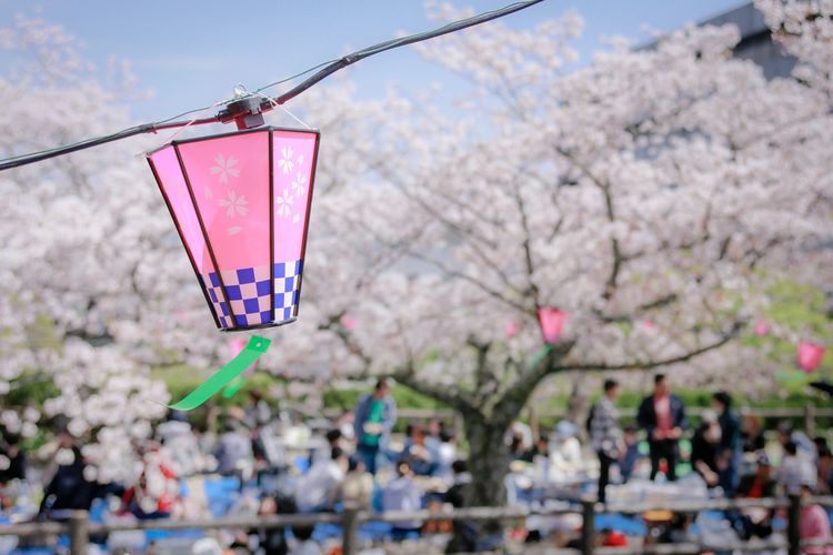 Party Tree Plant Flower Pink Color Nature Flowering Plant Branch Day Blossom Cherry Blossom Group Of People Outdoors Cherry Tree Incidental People