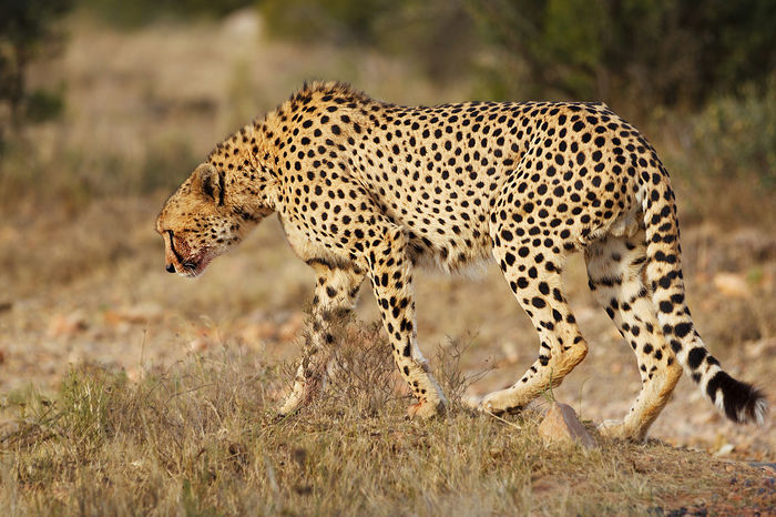 Animal Themes Animals In The Wild Cheetah Day EyEmNewHere Grass Mammal Nature No People Outdoors Safari Adventure Safari Animals Safari Park Spotted
