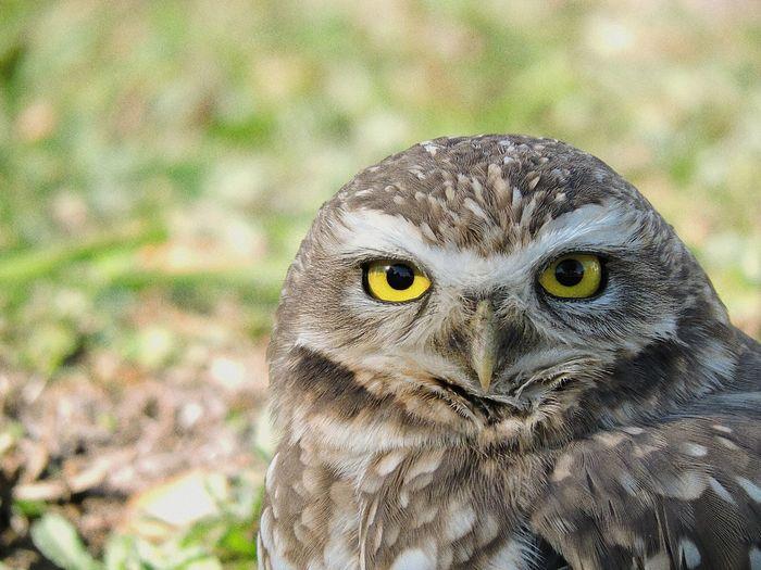 Portrait of owl on field