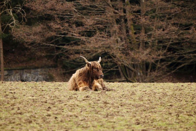 Cattle on ground