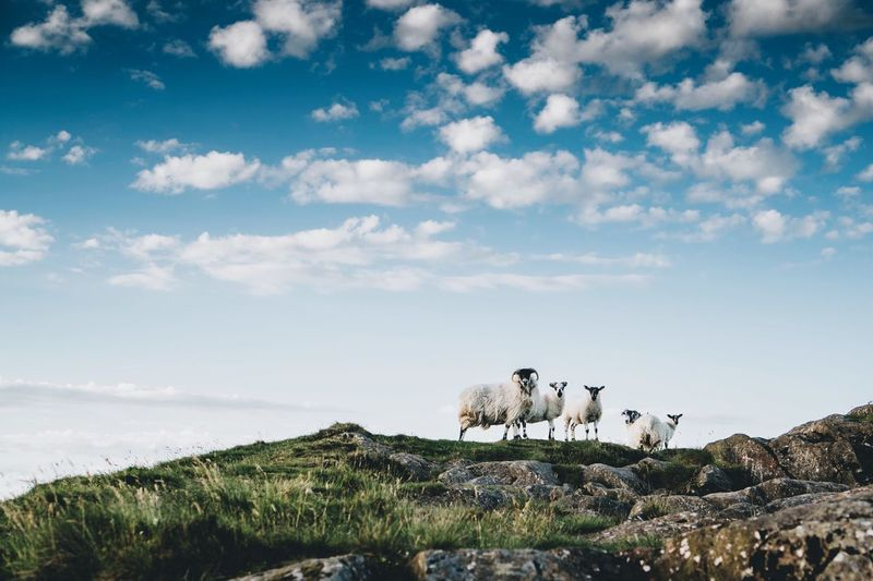 Sheep on top of Slemish mountain in Northern Ireland Inspirational Travel Cloud - Sky Mammal Nature Outdoors Grass Beauty In Nature Scenics