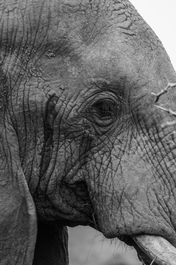Found this elephant between the trees shortly before exiting the Hluhluwe-iMfolozi-Park, South Africa Black & White EyeEm Nature Lover Travel African Elephant Animal Body Part Animal Head  Animal Themes Animal Wildlife Animals In The Wild Black And White Blackandwhite Chimpanzee Close-up Day Eye4photography  Hluhluw-imfolozi Park Mammal No People One Animal Outdoors Portrait Safari Animals Sony A6000 Travel Destinations The Week On EyeEm Black And White Friday