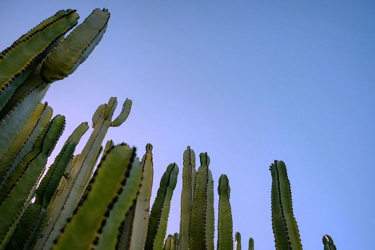 Low Angle View Of Organ Pipe Cactus Against Sky