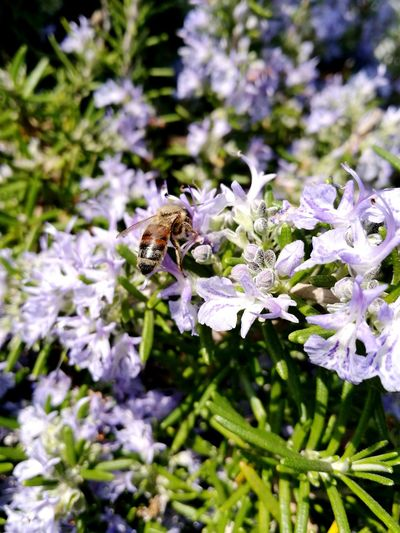 Nature Flower Beauty In Nature Insect Plant Outdoors No People Pollination Flower Head Purple Animal Themes One Animal Bee Rosmarin Rosmarino Bee And Flower