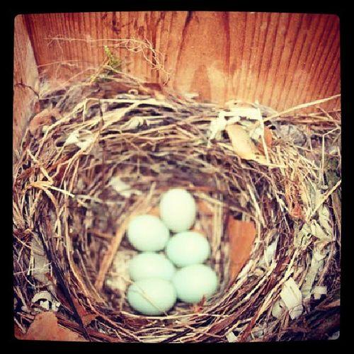 Bird Eggs Nest Anniken spring