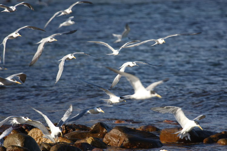 Terns Flying Over Sea