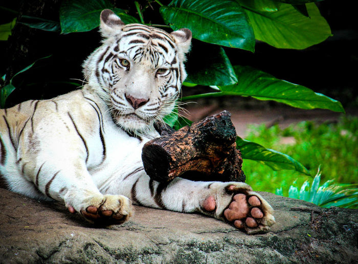 Tiger white wake up Animal Animal Themes Animal Wildlife Animals In The Wild Big Cat Carnivora Cat Domestic Animals Feline Mammal Nature No People One Animal Pets Relaxation Resting Solid Tiger Tiger White Vertebrate Whisker White Tiger Zoo First Eyeem Photo