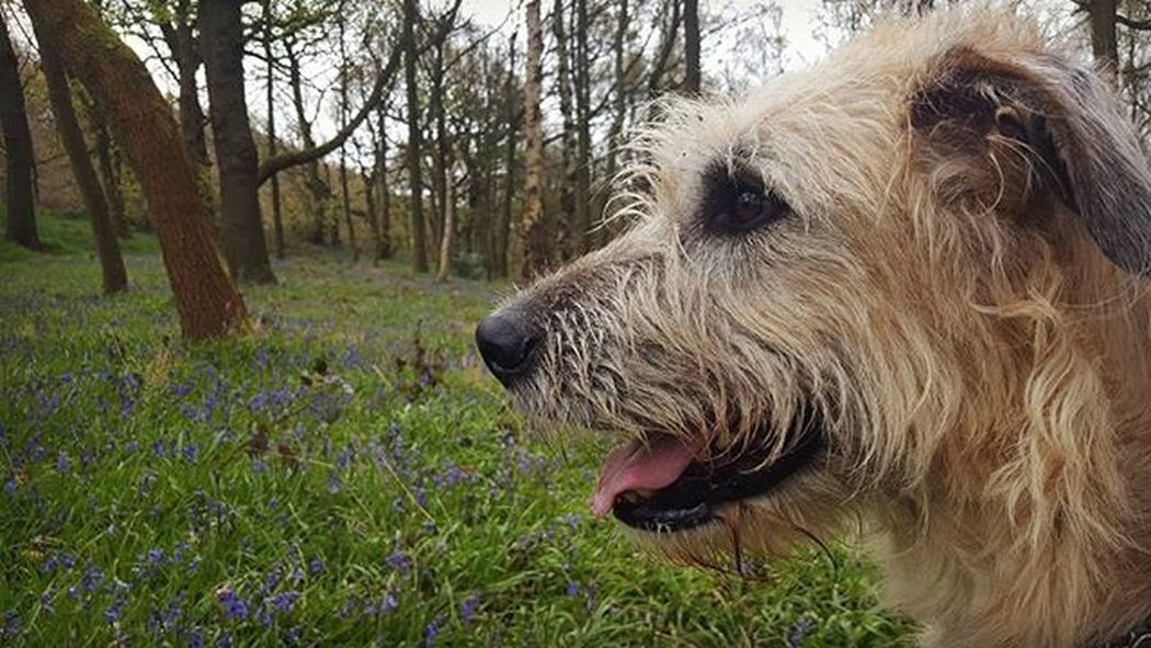 """Thorns may hurt you, men desert you, sunlight turn to fog; but you're never friendless ever, if you have a dog"" Dogs Dogsofinstagram Dogsofinstagram Bestoftheday Blonde Blondie Forest Path Picoftheday Walking Dogstagram Beautiful Love Smile Smiler Wolfie Wolfhound Wolfs"