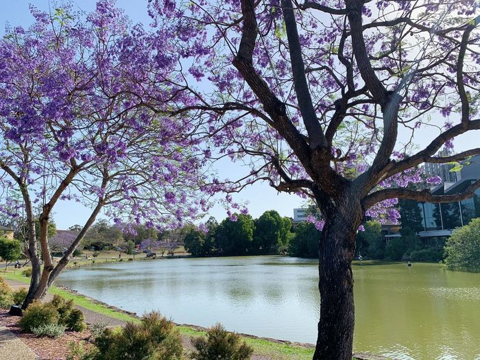 View of cherry tree by lake