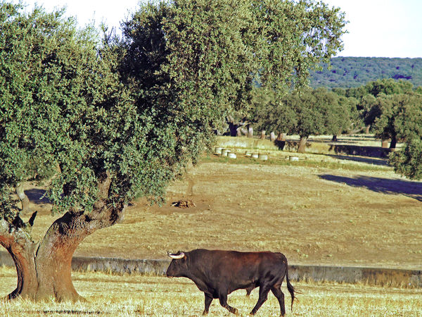 Animal Animal Themes Beauty In Nature Bull Cow Day Domestic Animals Grass Grassland Growth Large Group Of Animals Livestock Mammal Nature No People Outdoors Pasture Quercus Quercus Ilex Sky Summer Tranquility Tree Wild